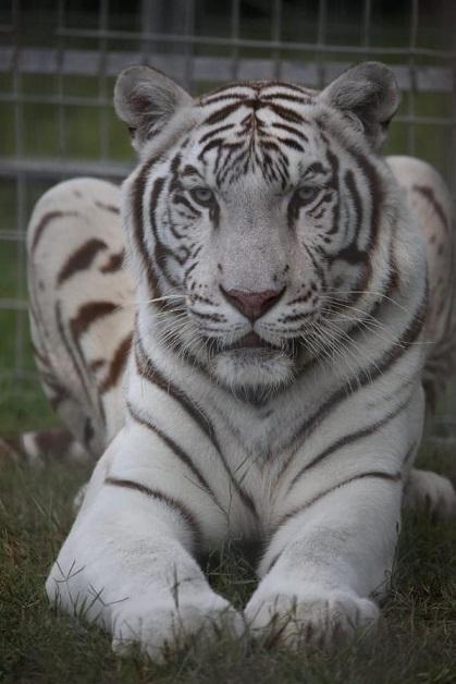 tigre bianca 2
